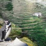 The Saint Louis Zoo Penguins Are Back