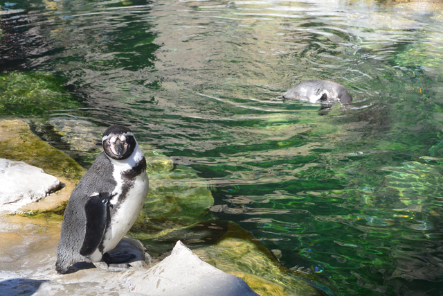 The Penguins Are Back At The Saint Louis Zoo