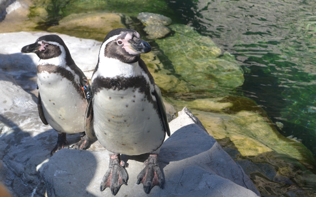 A pair of penguins lounge at the Saint Louis Zoo.