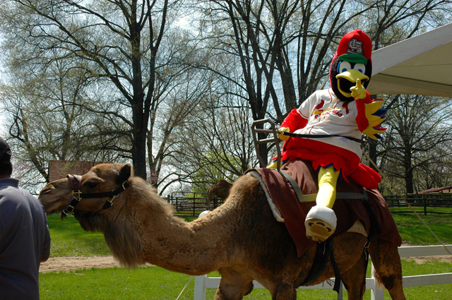 Fredbird Rides A Camel at Grant's Farm in St. Louis