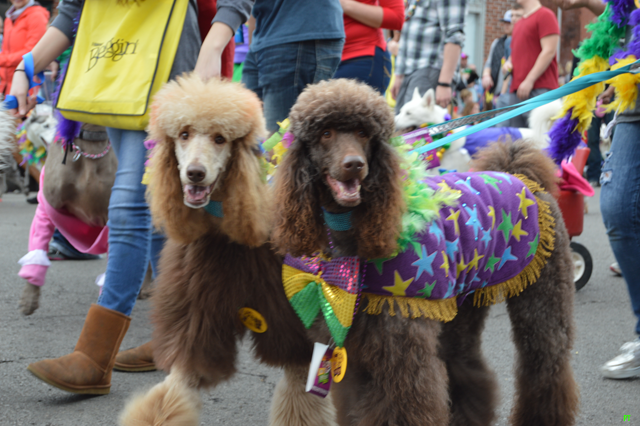 Two dogs at the 2016 Beggin' Mardi Gras Pet Parade in Soulard