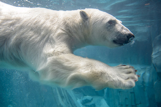 Kali, the resident polar bear at the Saint Louis Zoo, recently was caught imitating a visitor to the Zoo